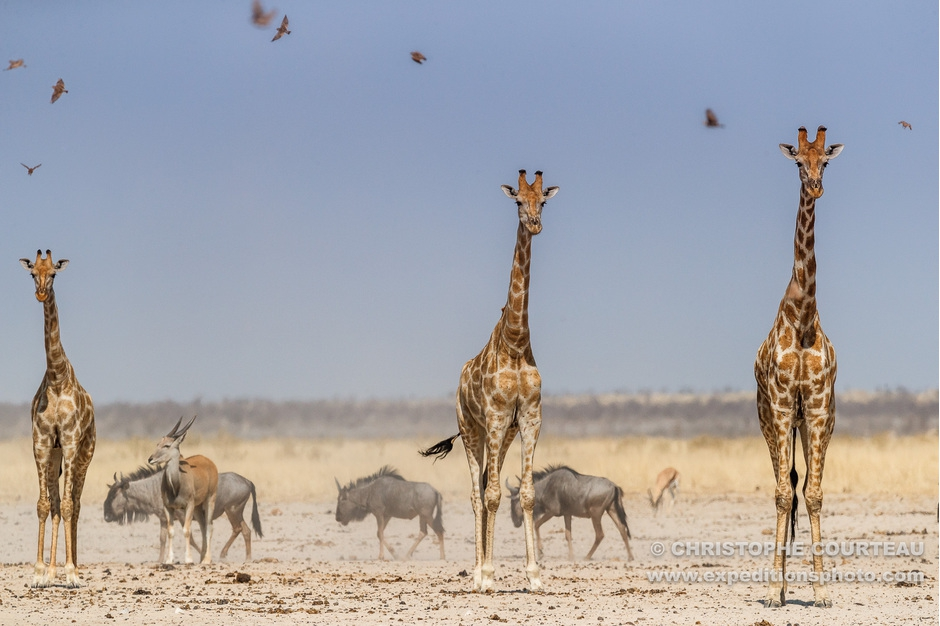 Giraffes in the dust and under the heat in the desert of Namibia