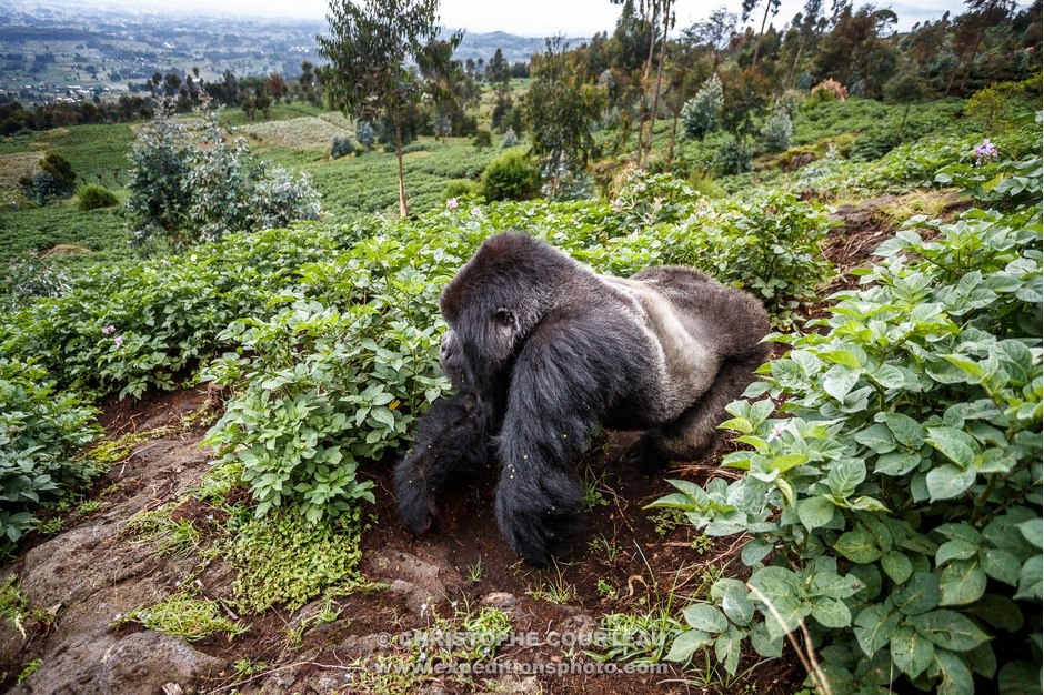 Silver back Mountain Gorilla exploring the crops surrounding the Volcanoes National Park in Rwanda
