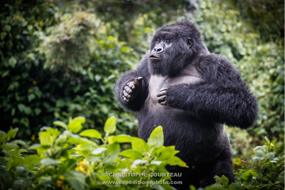 Mountain Gorilla Displaying in Rwanda