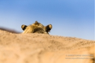 Desert Dwelling Lion from behind in the Damaraland in Namibia