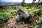 Silver back Mountain Gorilla exploring the potatoes crops surrounding the Volcanoes Nat.Park in Rwanda