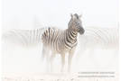 Burchell's Zebra in the dust and the heat of the day in Etosha National Park,  Namibia